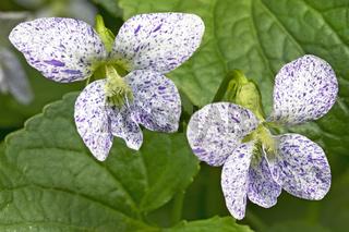 Pfingstveilchen (Viola Sororia) im Garten