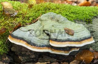Fichtenporling (Fomitopsis pinicola)