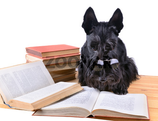 Reading terrier
