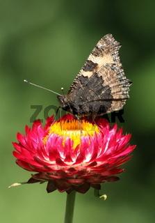Schmetterling, Admiral auf Strohblume