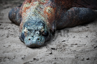 Komodo monitor lizard rests on the sand