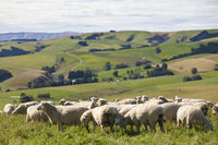 sheep in Newzealand
