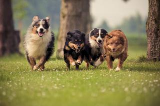 vier Australian Shepherd rennen um die Wette