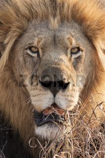 Löwe (Panthera leo) im Porträt