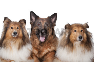 Two Rough Collie dogs and a German Shepherd