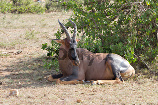 Lying Hartebeest in the Masai Mara Natural Reserve