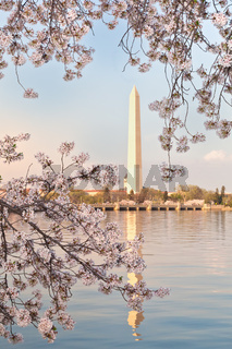 Washington DC Washington Monument Framed by Cherry Blossoms Branches