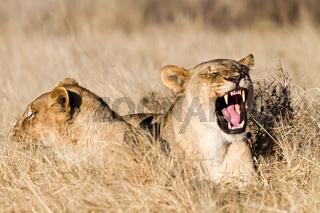 Fauchende Löwin