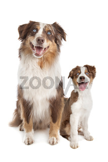 Australian Shepherd Adult and puppy