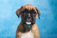 Boxer dog puppy portrait