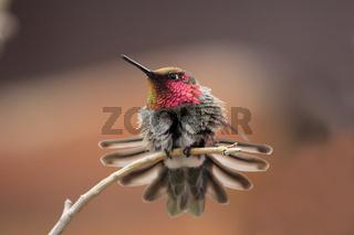 Anna's Hummingbird male (Calypte anna)