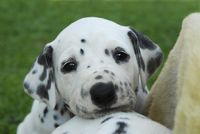 Dalmatian puppy, four weeks old, portrait
