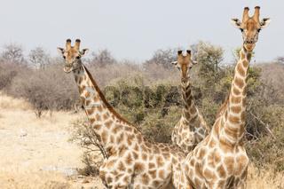 Giraffen in Namibia