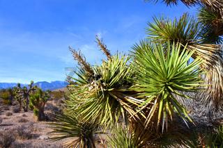 Joshua Tree (Yucca brevifolia) Nevada