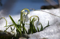 Schneegloeckchen