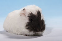 guinea pig baby brown face