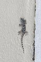 Hemidactylus turcicus, Common House Gecko