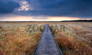 wooden path on swamp with cotton-grass