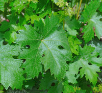 Green grape leaves