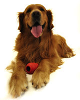 Golden retriever dog very expressive face. Lying with red toy, front view.