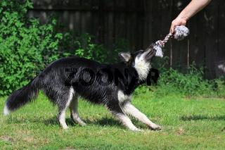 Husky - Labrador Mischling