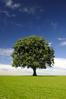 Eiche Laubbaum Einzelbaum