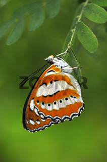 Tropischer Schmetterling Neptis hylas