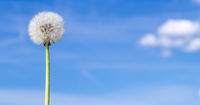Blowball in front of blue sky