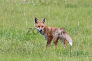 Fuchs auf der Jagd