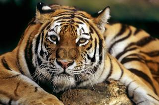 Armurtiger, Armur-Tiger, Panthera tigris altaica, siberian tiger