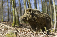 wild Boar, Sus scrofa, Nationalpark Bavarian forest, Germany