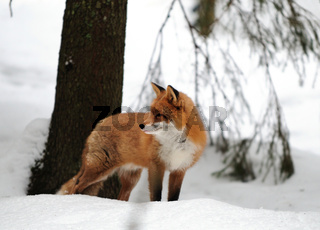 Rotfuchs,Winter, Red-fox