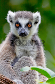 Katta, Lemur of ring-shaped tail, Madagaskar