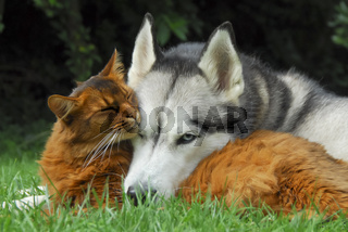 Somali cat and Siberian Husky cuddle up