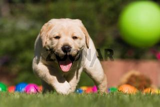 Labrador-Welpe läuft hinter Ball her