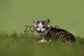 Katze, Kaetzchen auf Wiese, Cat, kitten on a meadow