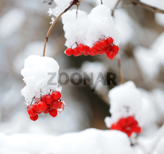 Mountain ash covered with snow