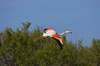 Greater Flamingo (Phoenicopterus roseus) in flight