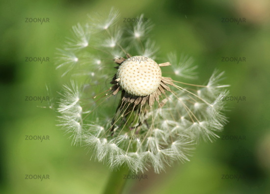 Dandelion, dandelion 3
