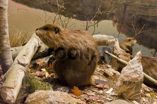 Beavers Working