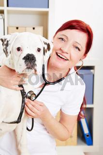 Boxer beim Tierarzt