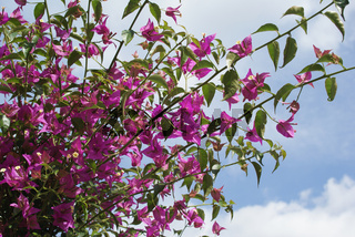 Bougainvillea, Bougainvillee, Paper flower