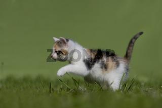 Katze, Kaetzchen gehend, rennend, auf Wiese, Cat, kitten walking, running on a meadow