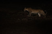 Hunting Leopard at night