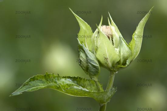Cirsium oleraceum, Cabbage Thistle