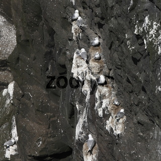 The colony of Kittiwake. Mykines