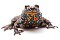 Bombina bombina. European Fire-bellied toad on white background.