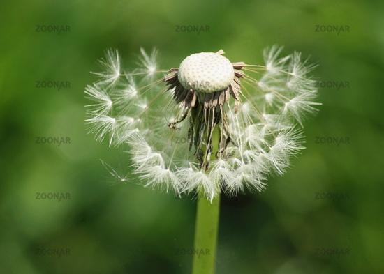 Dandelion, dandelion 2
