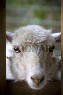 white sheep staring at camera