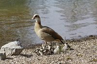 Alopochen aegytiacus, Egyptian Goose with goslings